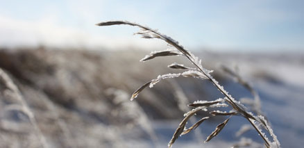Prairie grass in winter closeup